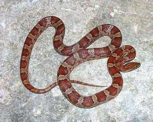 宠物蛇饲养要注意什么?